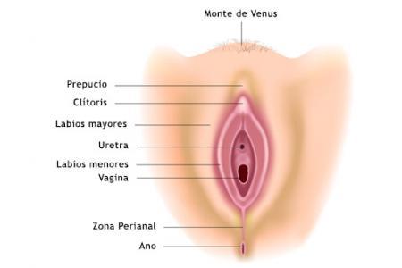 Partes de la vulva